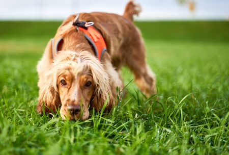Red haired curly Spaniel sniffing grass, walking