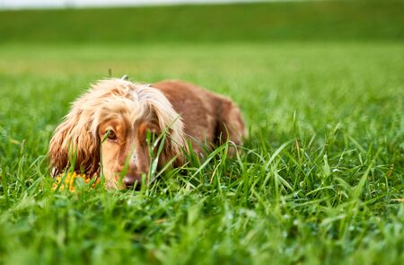 Red-haired Spaniel lies on grass, calm dog. Stock Photo