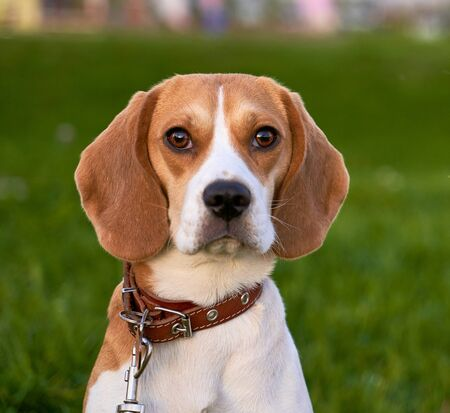 Square shot beagley, beautiful brown eyes, ears