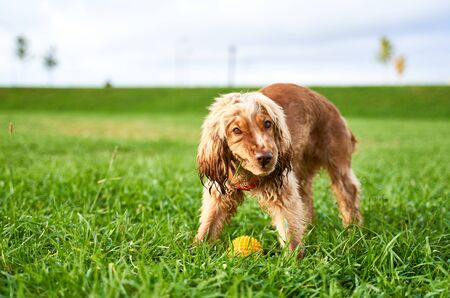Ginger Spaniel chews grass, knits nose walking day Stock Photo - 133686424
