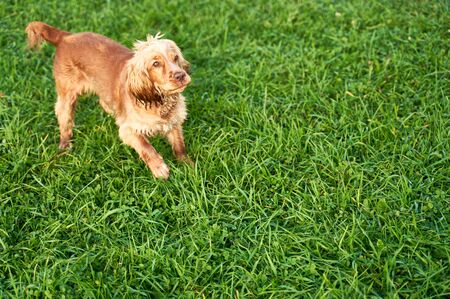 Ginger Spaniel looks at place of your advertising Stock Photo - 133686365