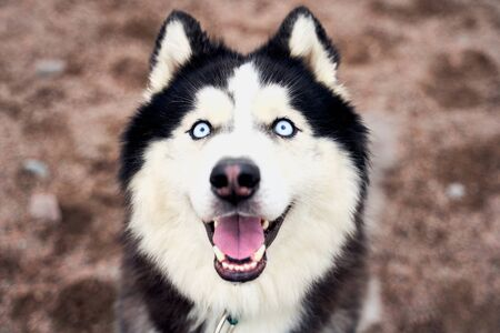 Close-up portrait of funny husky protruding tongue