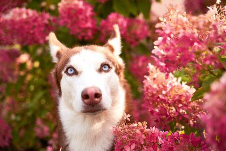 husky in white brown color, blue eyes, acute ears.