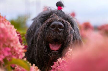 Postcard Terrier Zordan Black in hydrangea flowers