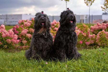 two Terrier Zordan Black sit in hydrangea flowers
