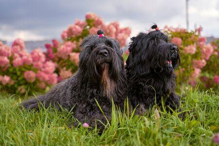 two Terrier Zordan Black lie in hydrangea flowers