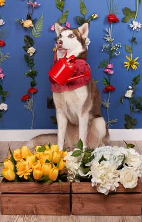 Young husky posing. Cute playful white and brown dog looks happy, isolated in background with fixed flowers on wall empty space for inserting text and ads advertising. Full-length pet sits on floor