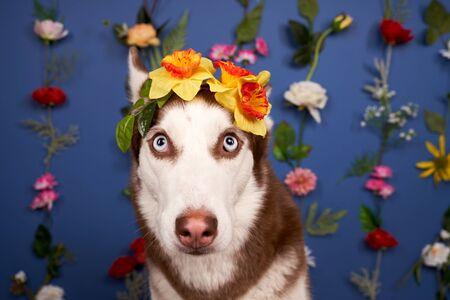 Young husky posing. Cute playful white brown dog