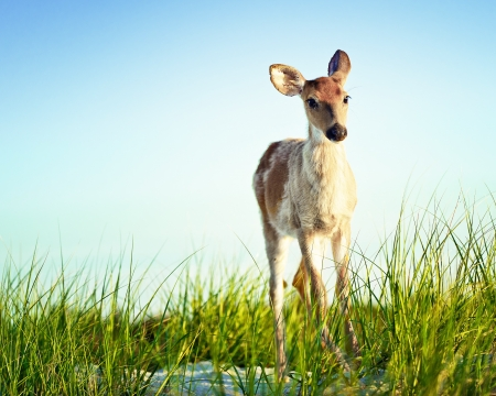 Blue Fawn Stock Photo