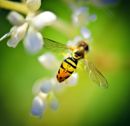 Hoverfly on White