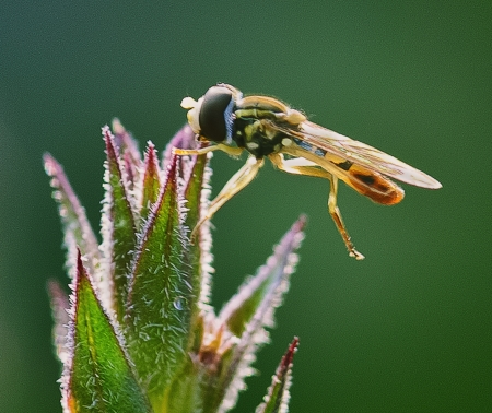 Hoverfly Ballet