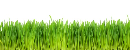 Green wheat field isolated on white background