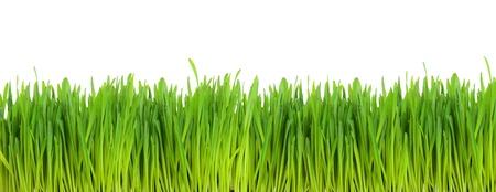 cultivo de trigo: Campo de trigo verde sobre fondo blanco Foto de archivo