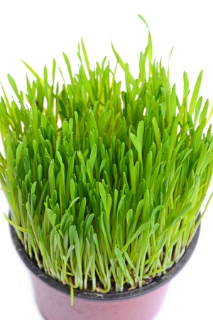 Green wheat in flowerpot isolated on white Stock Photo - 12150641