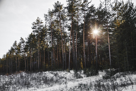 strains: Sunset in the wood between the trees strains in winter