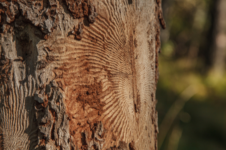 Closeup photo of tree bark with traces of a pest.