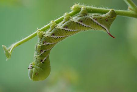 tomato caterpillar: tomato caterpillar
