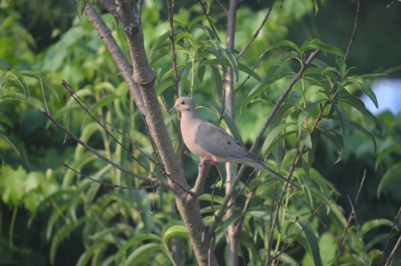 coo: mourning dove perched in peach tree