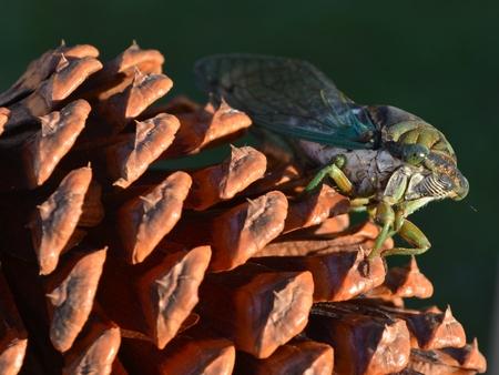 pine cone: cicala sulla pigna Archivio Fotografico