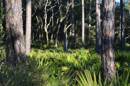 Saw palmetto and pine forest background