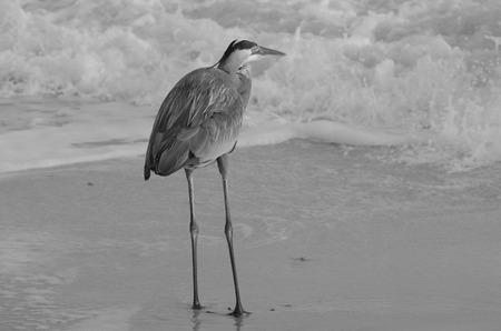 great blue heron: great blue heron on the beach