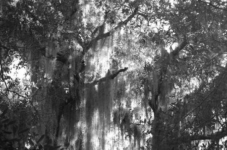 limbs: moss covered tree limbs