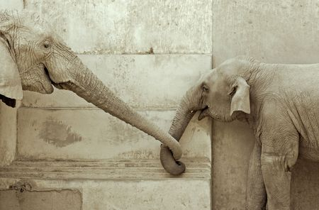elephant and his calf, touching each other  photo
