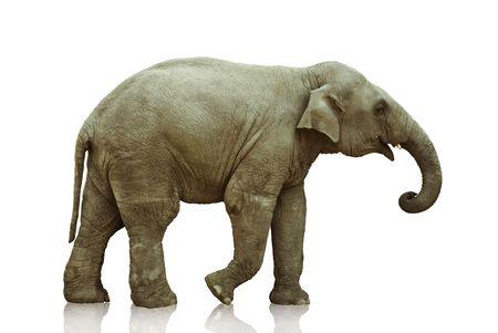 pachyderm: elephant calf over white  background photo Stock Photo