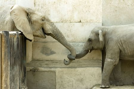 elephant and his calf, touching each other Stock Photo - 4974699