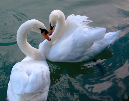swan pair:  two white beautiful swans in love swimming on water