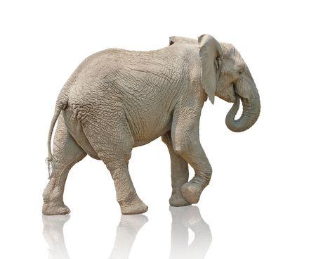 isolated walking elephant photo Stock Photo - 6035366