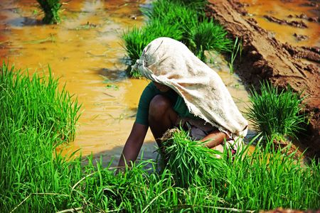 indian woman, planting rice photo photo