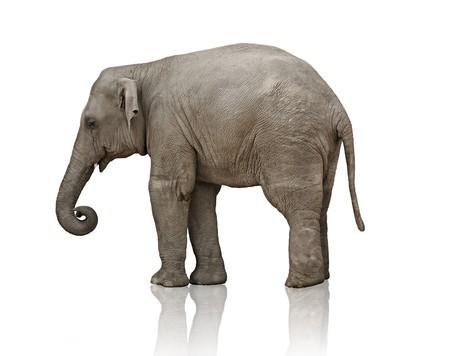 elephant trunk: sad elephant calf over white background photo