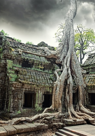 siem: Jungle tree covering the stones of the  temple of Ta Prohm in Angkor Wat (Siem Reap, Cambodia) Stock Photo
