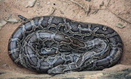 sleeping asian python close-up photo photo