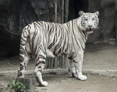 White tiger photo photo