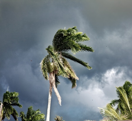 hurricane weather: Palm whipped by the wind