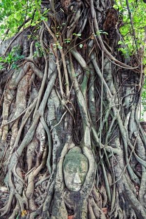banyan: el jefe de la piedra arenisca de Buda, en Ayutthaya.Thailand. Foto de archivo