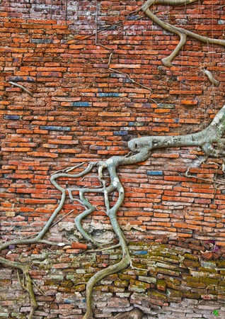 ayutthaya: The old brick wall and tree roots background (ruins of Ayutthaya, old capital of THAILAND ) Stock Photo