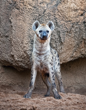 A spotted hyena, warily watching to camera photo