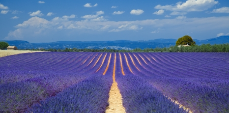 french countryside:  lavender fields of the French Provence near Valensole