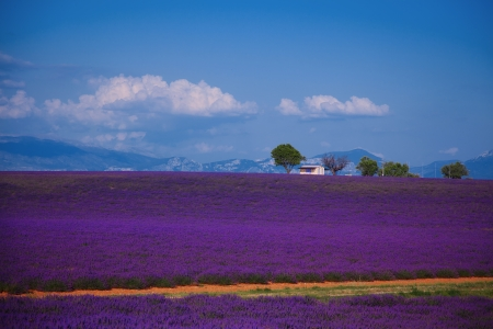 lavendin:  lavender fields of the French Provence near Valensole