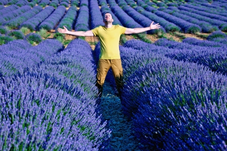lavender field:  lavender fields of the French Provence near Valensole