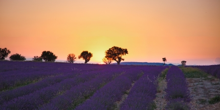lavande:  lavender fields of the French Provence near Valensole