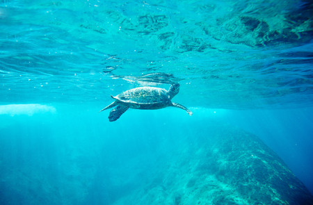 similan islands: Green Sea Turtle  Chelonia mydas   pops up to take a sip of air