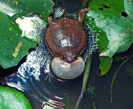 bullfrog: Male Banded bullfrog  calls for a mate with vocal sac inflated during mating season Stock Photo