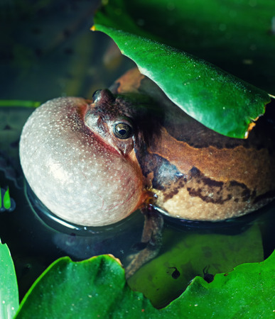 mate: Male Banded bullfrog  calls for a mate with vocal sac inflated during mating season Stock Photo