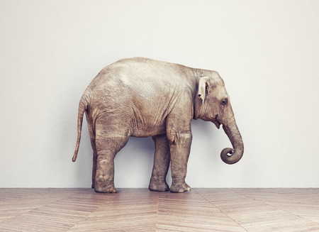 trunks: an elephant calm in the room near white wall. Creative concept