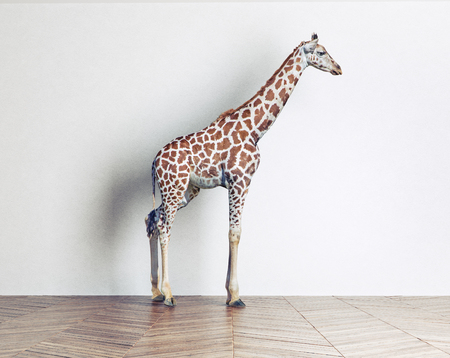 the giraffe baby in in the white room. Photo combination concept
