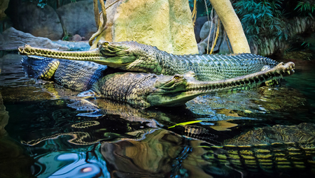 reptilia: couple of the Gavialis gangeticus close-up photo Stock Photo